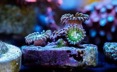 Saltwater Coral Tank