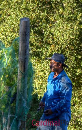 Grape Harvest Golden Hills