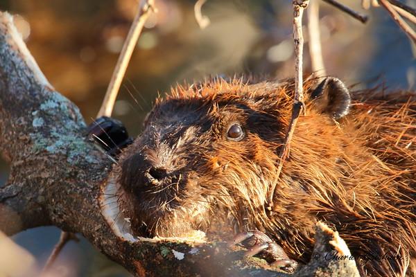 Beavers in North Alabama