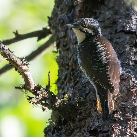 American Threetoed Woodpecker