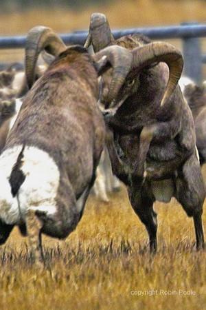 Jousting Rams