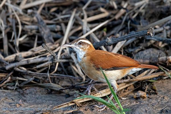 Bleekpootovenvogel; Furnarius leucopus; Palelegged hornero; Fournier variable