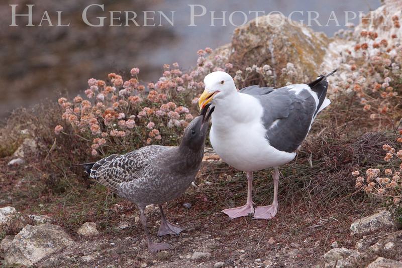 Really Hungry Fledgling Big Sur, California 0908BS-GF2