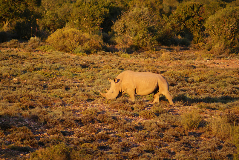 They have two rhinos at Buffelsdrift.  The rhinos were wild but it felt a bit like a zoo because they hung around the lodge most of the time.