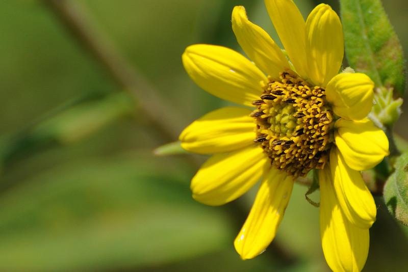 Small Woodland Sunflower (Helianthus Microcephalus)