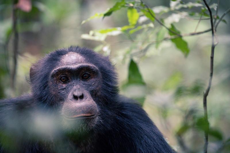 Uganda_T_Chimps-832.jpg