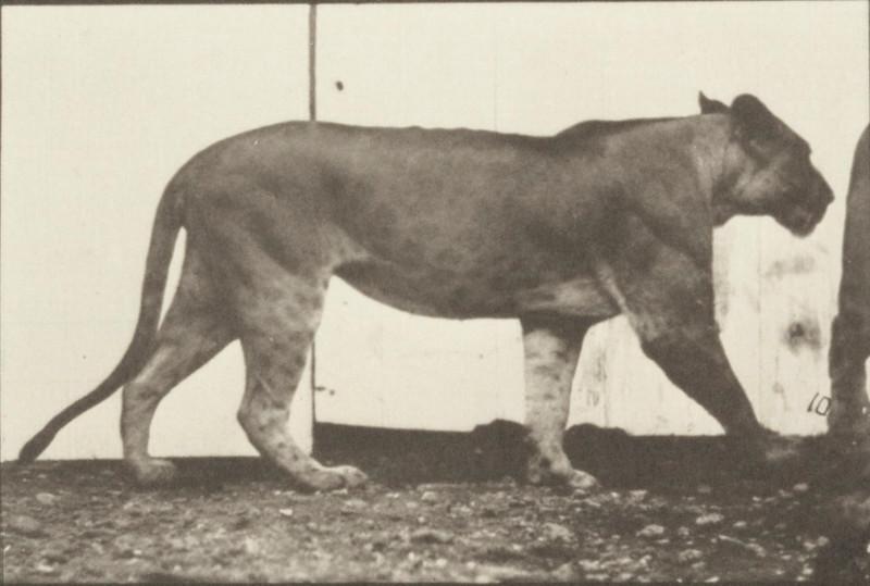 Lioness walking