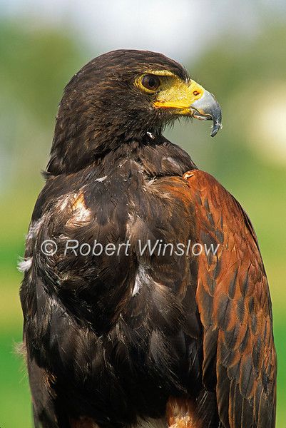Harris's Hawk, Parabuteo unicintus, Controlled Conditions
