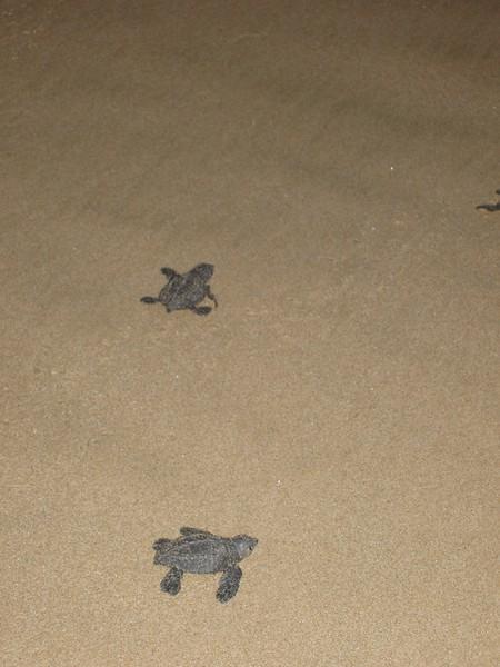 2007-11-30-0035-Las Alamandas in Jalisco, Mexico with Hahns-Sea Turtles Hatched from Rescued Eggs at Las Almandas.jpg