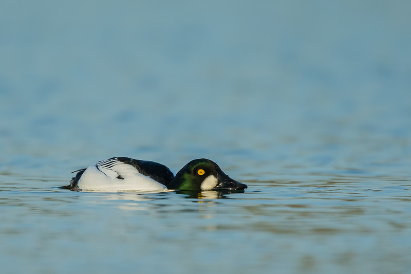 Common Goldeneye - Male - Shoreline Park, Mountain View, CA, USA