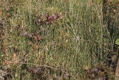 Sphénophytes (Prêles)