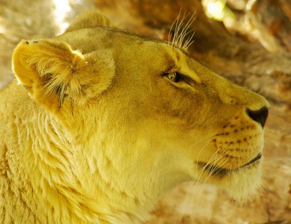 Lioness-J29,1.jpg