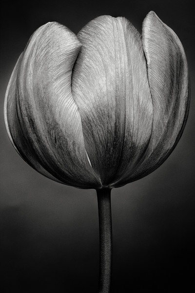 purple-tulip-01.jpg