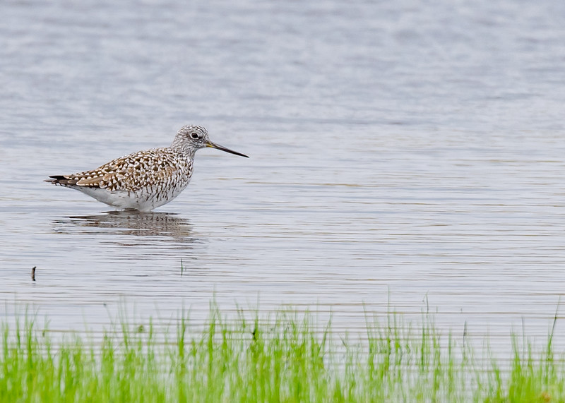Greater Yellowlegs at a fluddle in Quinn Rd, IN