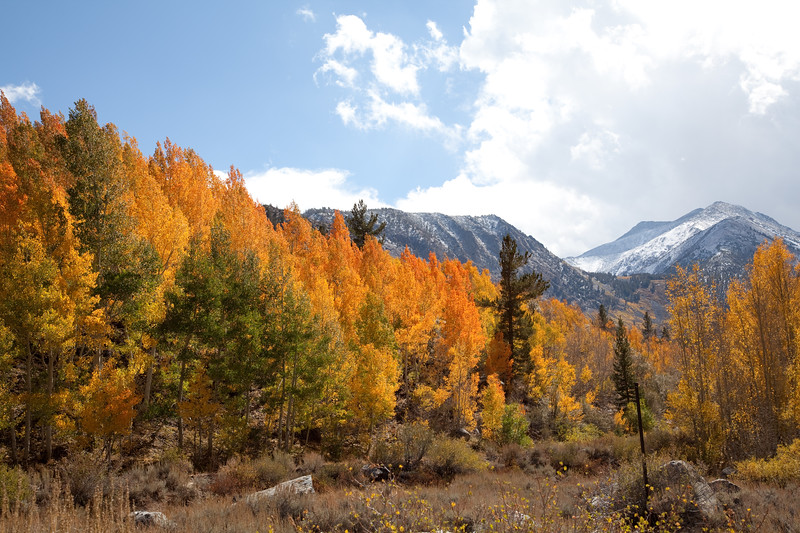 Aspen Trees in the Eastern Sierra