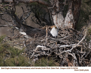 Bald Eagle F59764.jpg