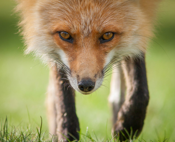 Inquisitive fox, Yellowstone National Park
