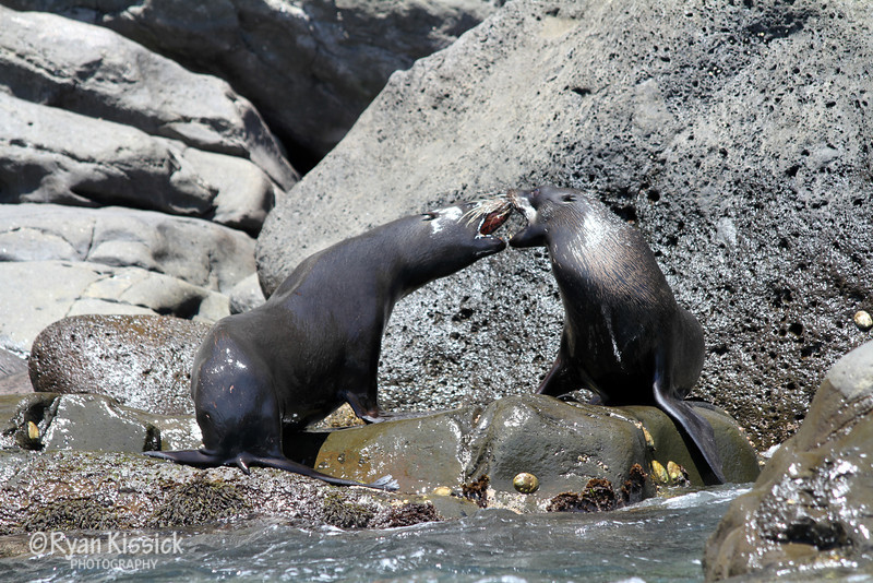Guadalupe Fur Seals playing