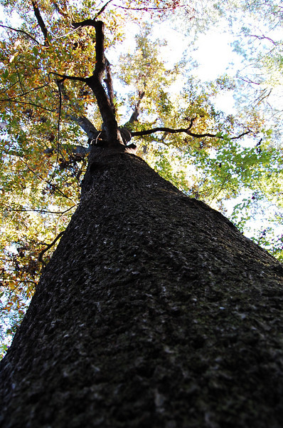 Looking up Big Hickory.