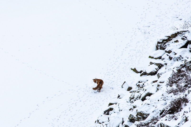 Fox on Crag Lough