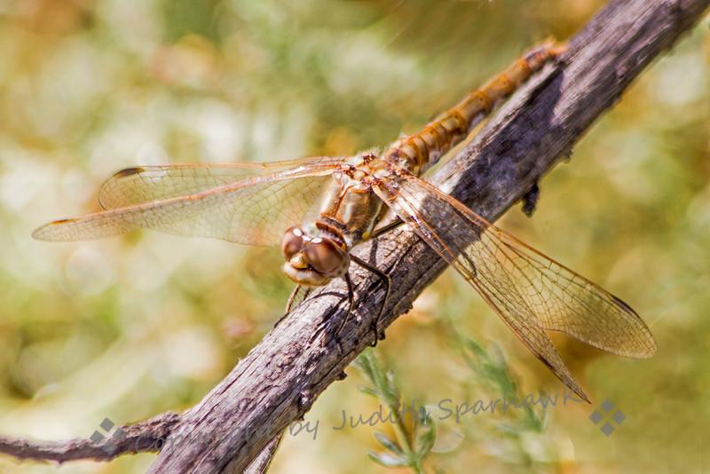 Western Meadowhawk Dragonfly