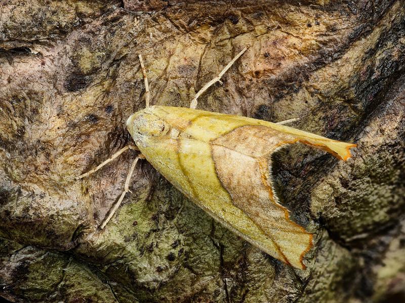 True' Sharp-lined Yellow Moth