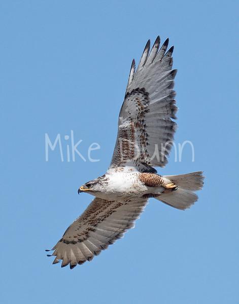 Ferruginous Hawk-168