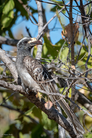 Hornbill, African Grey (spp. epirhinus)