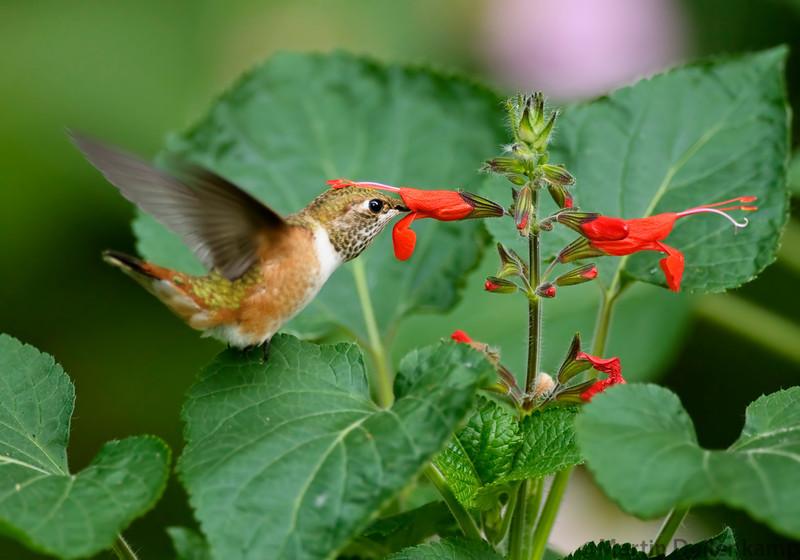 Rufous Hummingbird juvenile and Salvia exserta