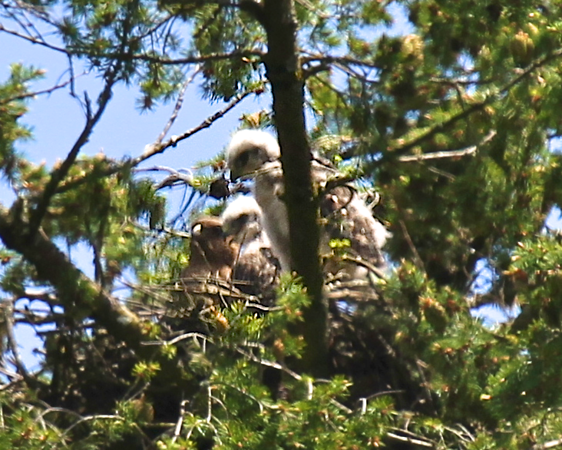 What I wouldn't give for these photos to be crystal clear!!!!! What a cute shot of the 3 of them May 29, 2012 Redtailed hawk chicks with their mother on the nest