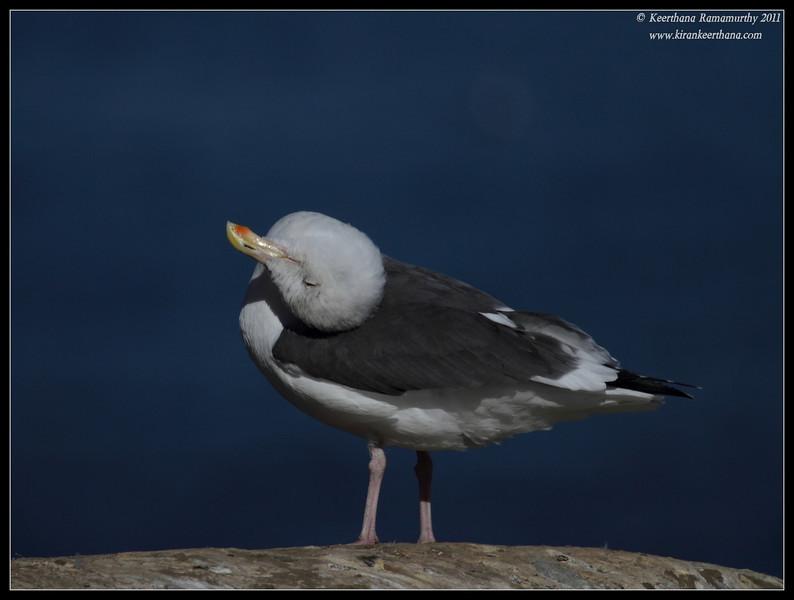 Western Gull, La Jolla Cove, San Diego County, California, October 2011