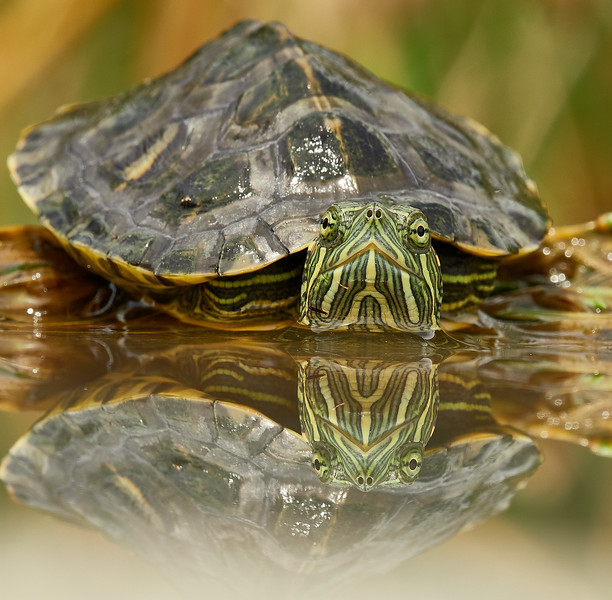 Red eared terrapin (invader)