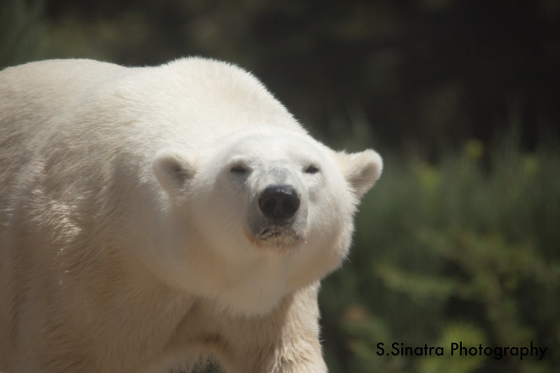 polar bear (41 of 50).jpg