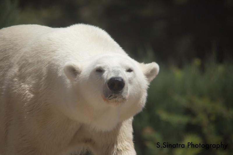 polar bear (41 of 50).jpg