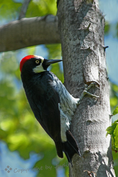 The Masked Bandit ~ This Acorn Woodpecker flew into the tree while I was photographing a pair of nesting Nuttall's Woodpeckers at their nest.  He was nosing around, causing the Nuttall's to sound the alarm and make a lot of noisy commotion for several minutes, until the Acorn finally flew away.