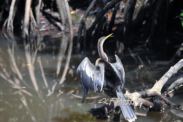 Anhinga catching fish to eat