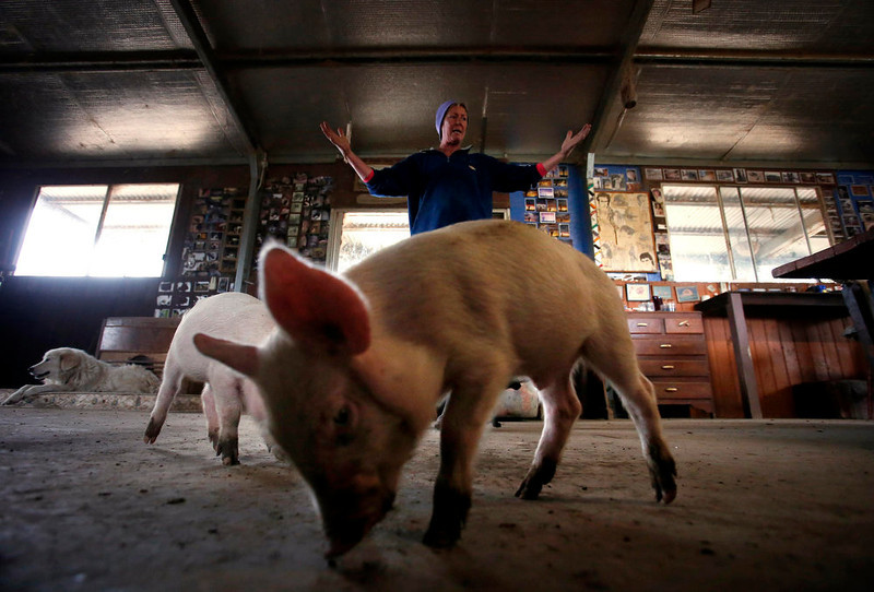. Farmer Lindy Haynes reacts as one of the more than 25 pigs she lives with in her home eats food off the floor at her property known as \'Pigsville\' in the New South Wales town of Mudgee, located 250 km (155 miles) west of Sydney March 2, 2013. Haynes believes that all farm animals should be \'free range\', and allows the pigs, chickens, cats and dogs on her farm to move freely in and out of her house, with most sleeping inside at night. Picture taken March 2, 2013.    REUTERS/David Gray