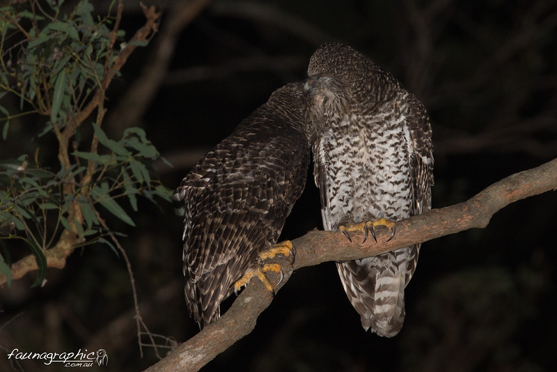 Powerful Owl pair preening
