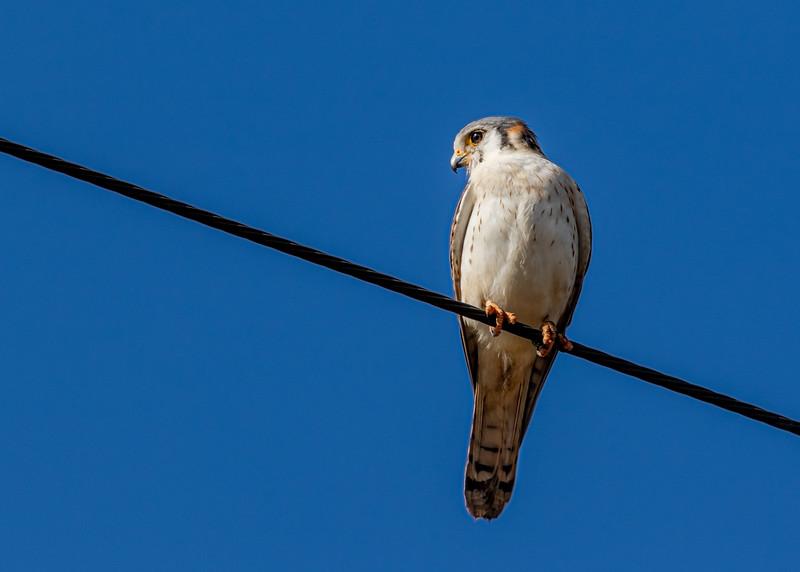 Falco sparverius_Ciénega Zapata_240220_A3A2773_1.jpg