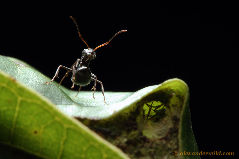 A new world weaver ant (Camponotus sp.) guards the nest entrance.  Misahuallí, Napo, Ecuador