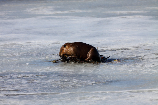 Beaver Lock 13
