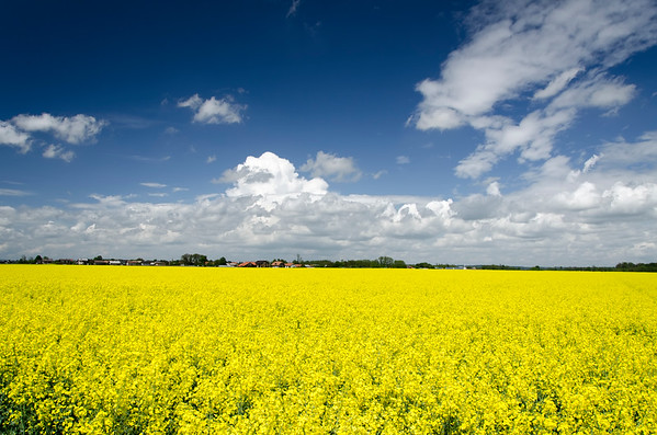Mustard- Seeds, Flowers and Fields