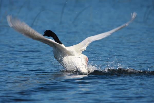Cisne de Cuello Negro Black-necked Swan