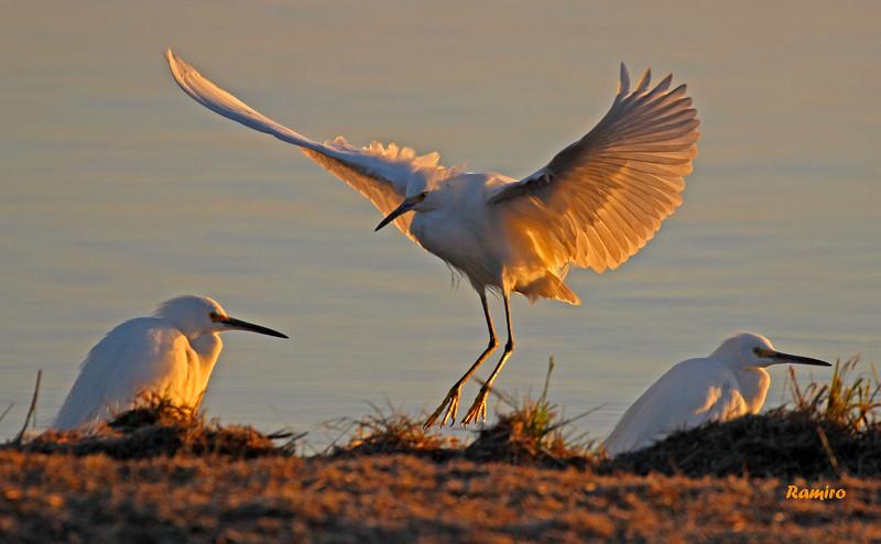Snowy Egrets IMG_8071.jpg