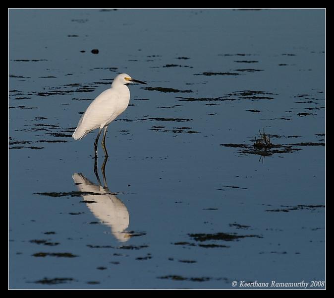 Snowy Egret, San Elijo Lagoon, Rios Ave, San Diego County, California, December 2008