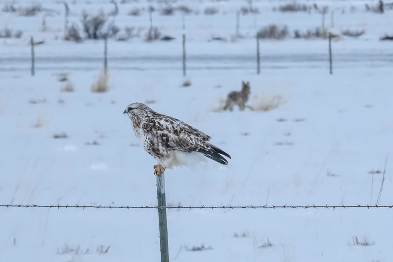 Rough-legged Hawk and Coyote