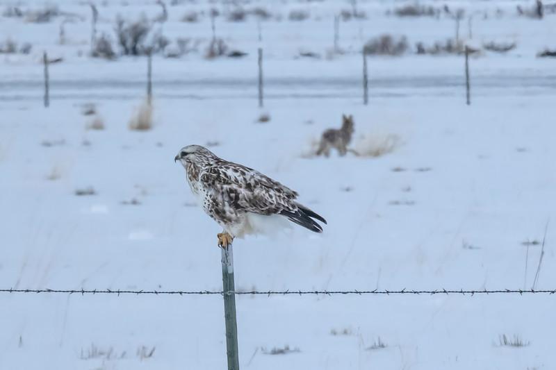 Rough-legged Hawk and Coyote