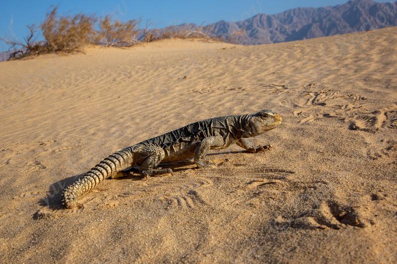 Dabb Lizards 'Egyptian spiny-tailed lizard (Uromastyx aegyptia) חרדון צב