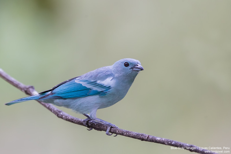 Blue-Gray Tanager - Aguas Calientes, Peru