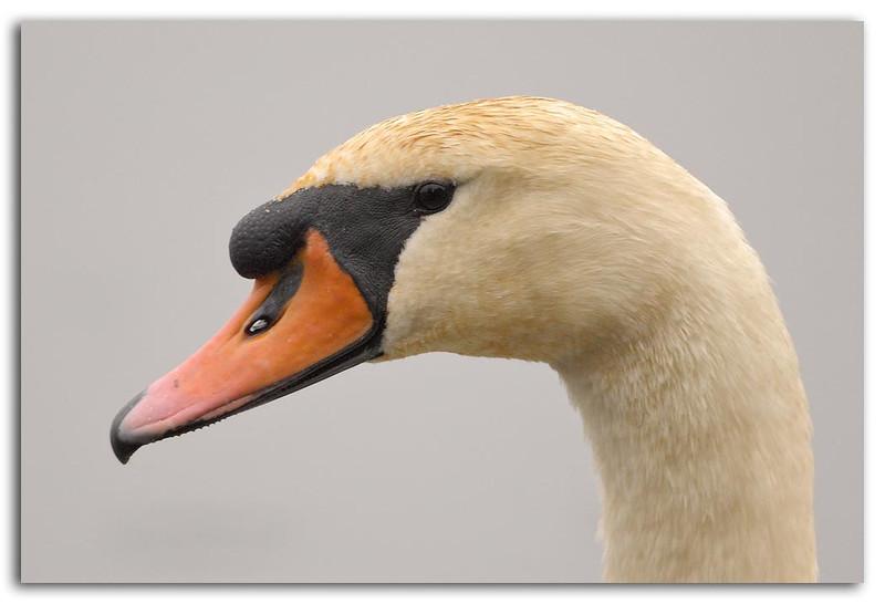 Swan Portrat.jpg